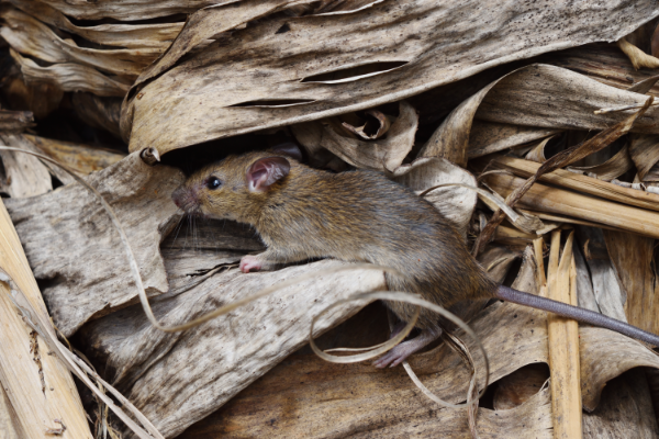 COVID-19 pandemic and rodent behavior