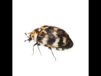 Carpet Beetle Pest