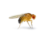Pest FruitFly