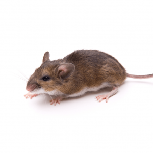 white footed mouse picture