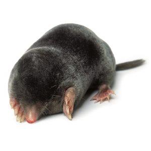 Mole common yard pet